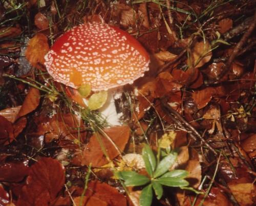 Amanite Montcalm 94.JPG
