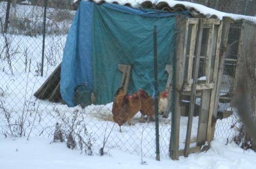 Poulailler sous la neige.jpg