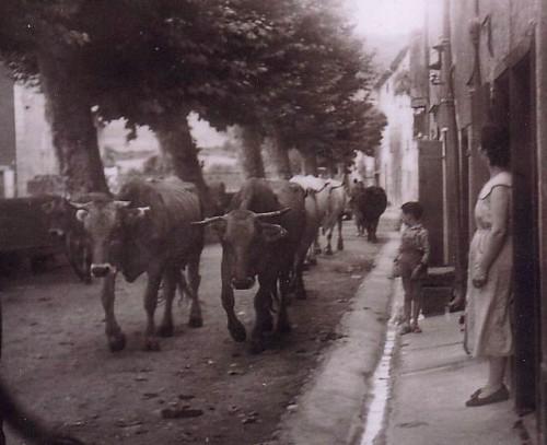 Vaches M. Théron 1953.JPG