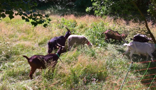 chèvres,cédric courdil