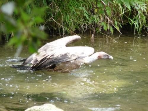 vautour fauve,santiago martinez
